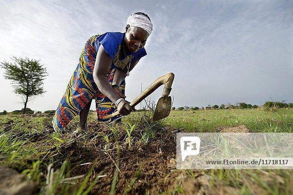 Bäuerin mit Harke jätet Unkraut auf einem Sorghum-Feld (Sorghum Bicolor)  Gomponsom  Provinz Passoré  Region Nord  Burkina Faso  Afrika