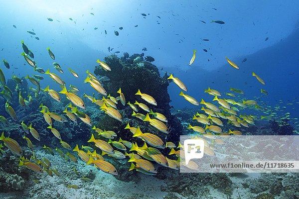 Schwarm Blaustreifen-Schnapper (Lutjanus kasmira) schwimmt über Korallenriff  Raja Ampat Archipel  Papua Barat  West-Neuguinea  Pazifik  Indonesien  Asien