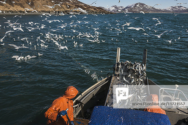A commercial fishing crew hauls in a load of herring in Kulukak Bay in Bristol Bay  Southwest Alaska  USA
