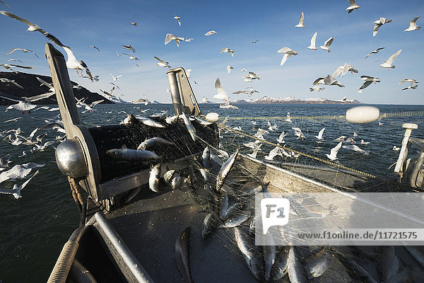 'Bow view of a bow picker drift boat hauling in herring during the Togiak fishery  Bristol Bay  Southwest Alaska  USA'