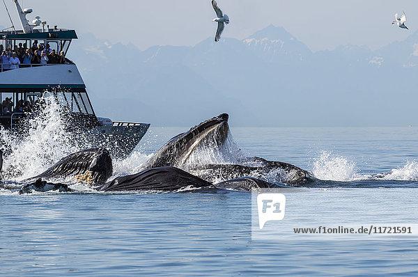 Tourists look on as they watch a pod of Humpback whales bubble-net feed near Shelter Island  Southeast Alaska  USA