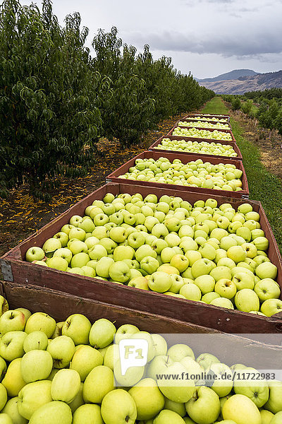 'A row of large wooden bins full of green apples in an orchard; Penticton  British Columbia  Canada'