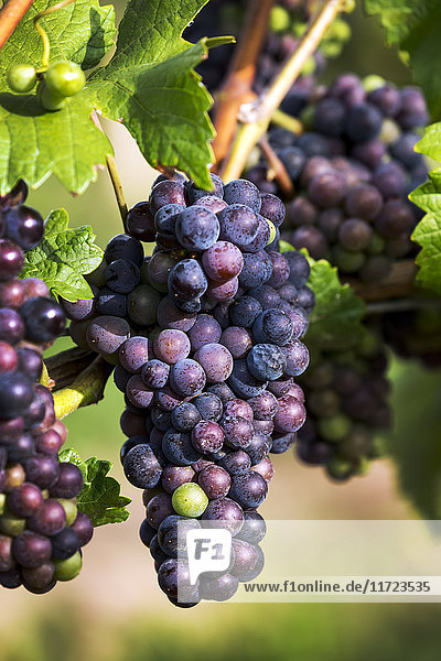 'Close-up of clusters of dark unripe purple grapes hanging from the vine; Vineland  Ontario  Canada'