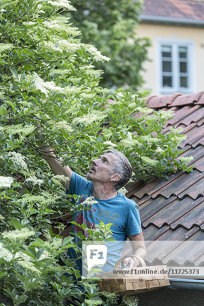 Man picking elderflowers
