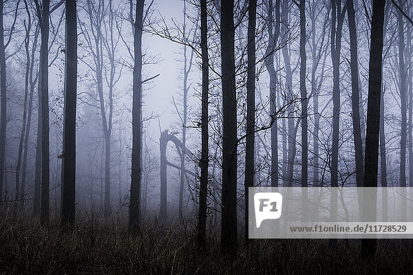Ätherische Winterwaldbäume in Nebel gehüllt,  Naestved,  Dänemark