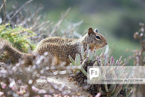 Wildes Eichhörnchen unter Sträuchern  Kalifornien  USA
