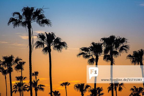 Silhouettierte Palmen im goldenen Sonnenuntergang  Encinitas  Kalifornien  USA