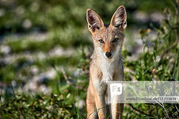 Schabrackenschakal  Canis mesomelas  Etoscha Wildpark  Namibia  Afrika
