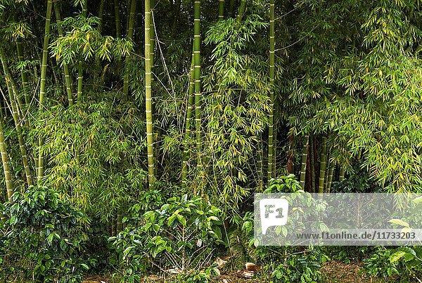Bamboo on a coffee farm near Filandia  Colombia  South America.