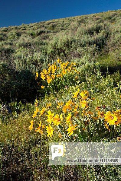 Balsamroot (Balsamorhiza deltoidea)  Hart Mountain National Antelope Refuge  Oregon.