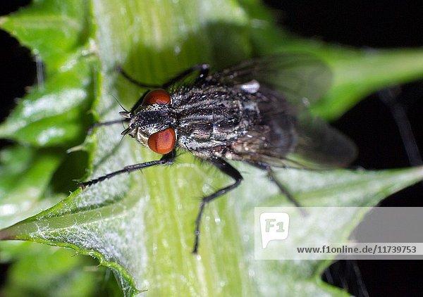 Fly. Diptera. Insect. Arthropoda. Macro.
