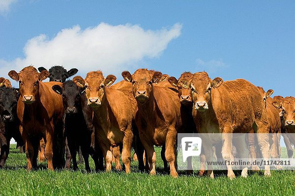 Herd of Limousin young stock. (Photo by: Wayne Hutchinson/Farm Images/UIG)