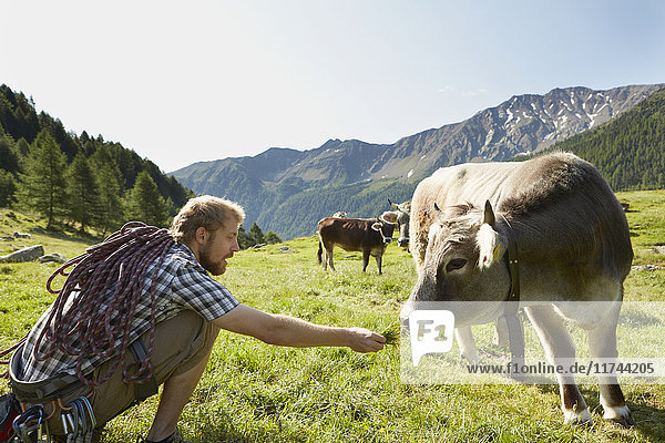 Young male climber feeding grass to cow  Val Senales  South Tyrol  Italy