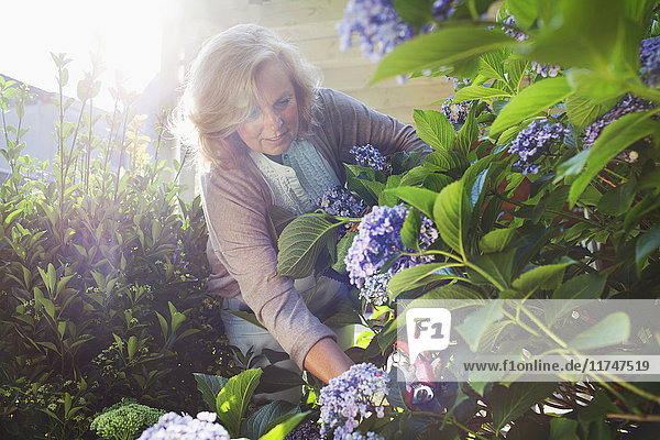 Mature woman kneeling in garden  picking flowers