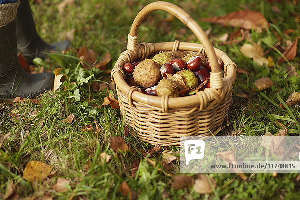Basket of conkers with young boy standing beside them  low section