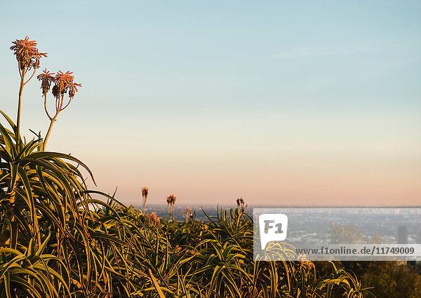 Pflanzen  die in Los Angeles  Kalifornien  USA  wachsen