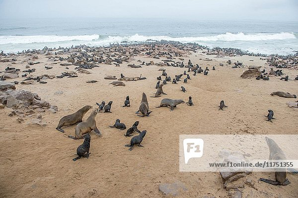 Cape fur seals are gathered and resting along the beaches of Cape Cross  located in Namibia  Africa. The Cape Cross Seal Reserve is the largest government protected seal reserve in the world.