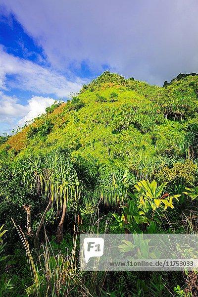 Lush vegetation along the Kalalau Trail  Na Pali Coast  Kauai  Hawaii USA.