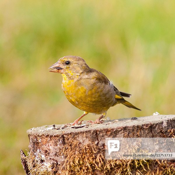 A young Greenfinch (Carduelis chloris) in the Uk.