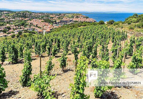 Vineyard grape vines overlooking the town of Collioure  Côte Vermeille  Céret  Pyrénées-Orientales  Occitanie  France.