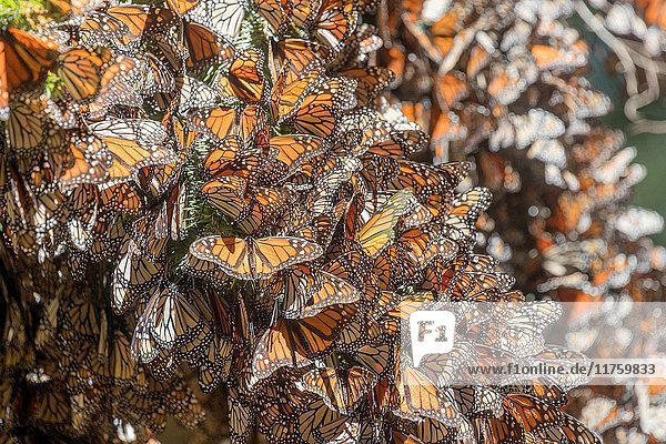 Central America  Mexico  State of Michoacan  Angangueo  Reserve of the Biosfera Monarca El Rosario  monarch butterfly (Danaus plexippus)  wintering from November to March in oyamel pine forests ((Abies religiosa).