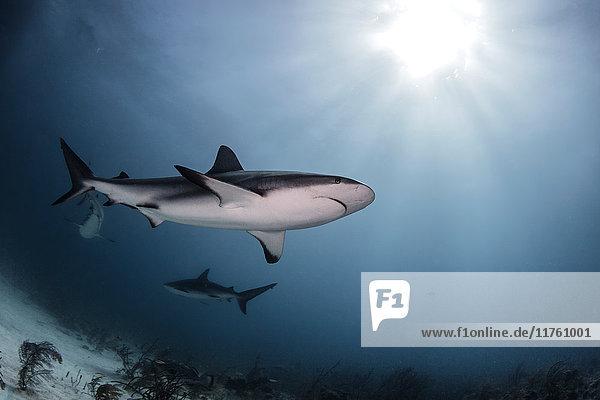 Bullenhaie  Tiefwinkelansicht  Unterwasseransicht  Nassau  Bahamas