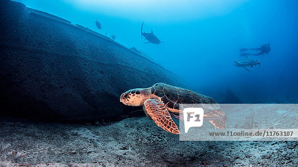Meeresschildkröte  Unterwasser-Ansicht  Nassau  Bahamas