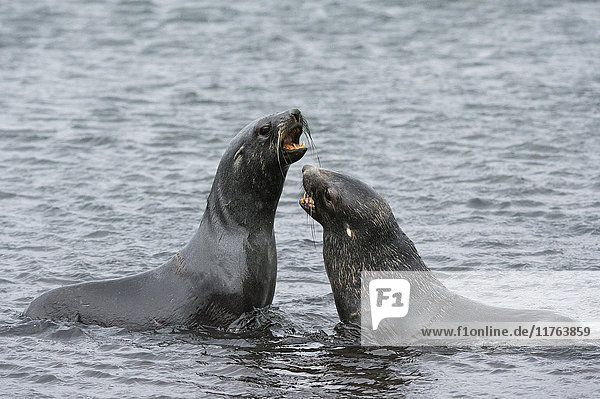 Two Antarctic fur seals (Arctocephalus gazella) fighting  Deception Island  Antarctica  Polar Regions