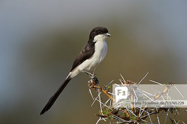 Long-tailed fiscal (Lanius cabanisi)  Selous Game Reserve  Tanzania  East Africa  Africa