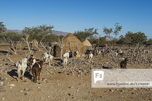 Himba gral (compound)  near Sesriem  Kakovelt  Namibia  Africa