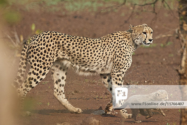 Cheetah (Acinonyx jubatus) mother and cub  Kruger National Park  South Africa  Africa
