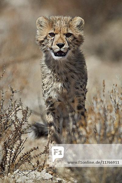 Cheetah (Acinonyx jubatus) cub  Kgalagadi Transfrontier Park  encompassing the former Kalahari Gemsbok National Park  South Africa  Africa