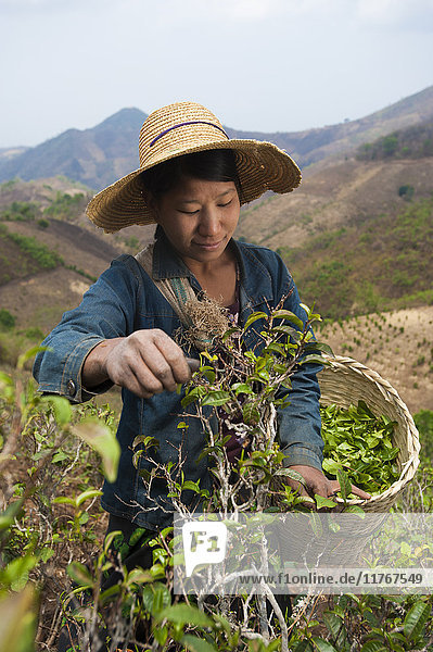 A woman collects teas leaves in the hills surrounding Kalaw Shan State  Myanmar (Burma)  Asia
