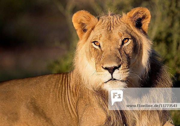 African lion (Panthera leo) - Male  Kgalagadi Transfrontier Park  Kalahari desert  South Africa/Botswana.