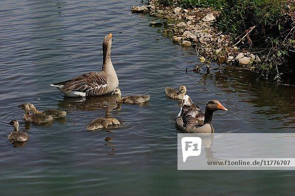Geese and goslings on ''La Grand-Mare'' pond  Marais Vernier  Boucles de la Seine normande Regional Nature Park  Eure department  Normandy region  France  Europe.