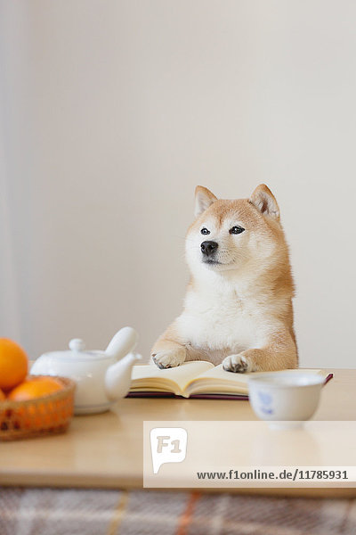 Shiba inu dog with book and kotatsu table
