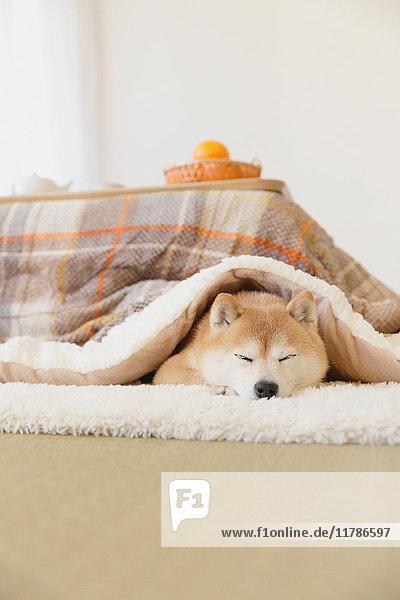 Shiba inu dog under kotatsu table