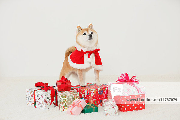 Shiba inu dog with Christmas clothes