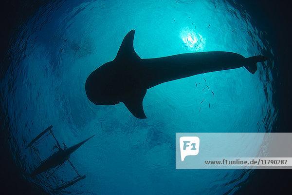 Walhai im Meer