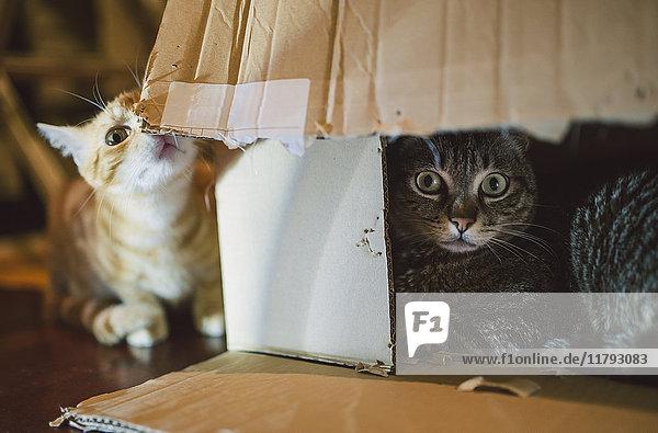 Zwei Katzen  die mit Karton spielen Zwei Katzen, die mit Karton spielen