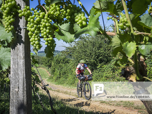 Mountain biker riding on a track through vineyards with grape in foreground
