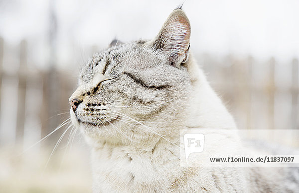 USA  Colorado  Portrait of grey cat with closed eyes
