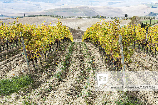 Italy  Tuscany  San Quirico D'orcia  Vineyard with yellow autumn leaves going down