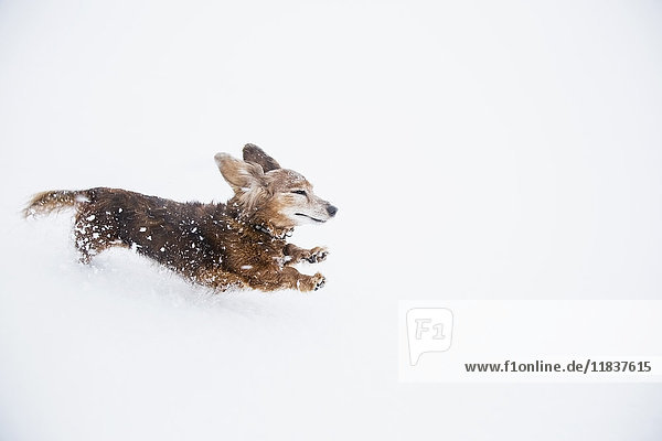 USA  Colorado  Dachshund running in snow at winter
