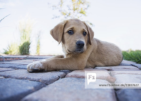 Puppy resting on path