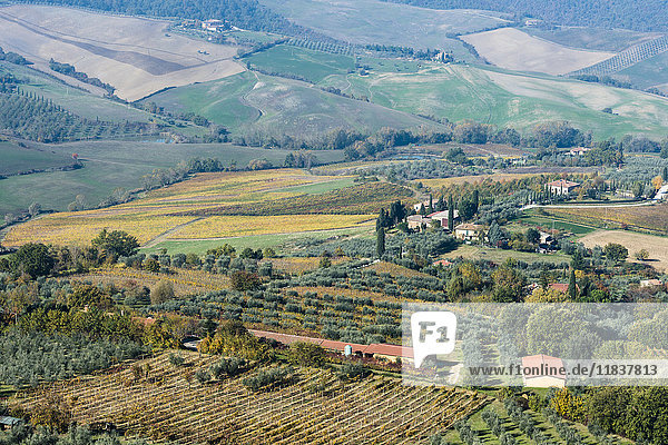 Italy  Tuscany  Montepulciano  landscape with vineyard fields  rows of olive trees  buildings and cypress alleys