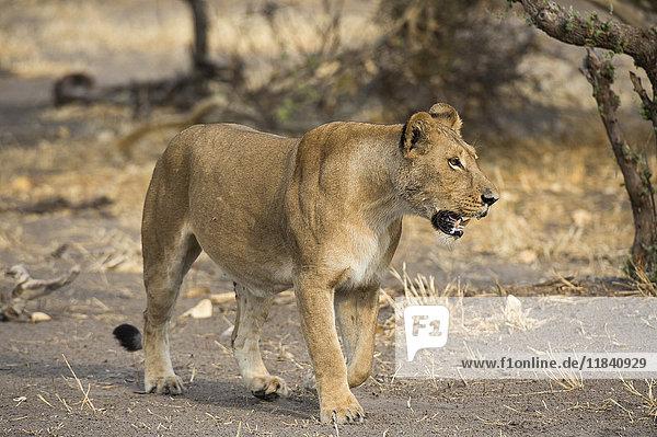 A lioness (Panthera leo) walking  Botswana  Africa