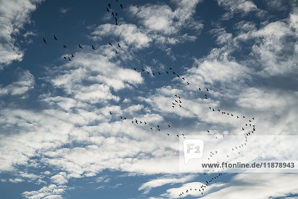 'Flock of geese (Anserini) fly overhead; Iceland'