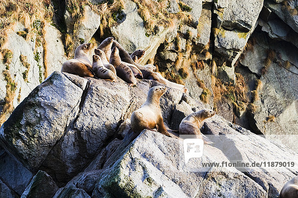 'Seals resting on rocks  Kenai Fjords; Alaska  United States of America'