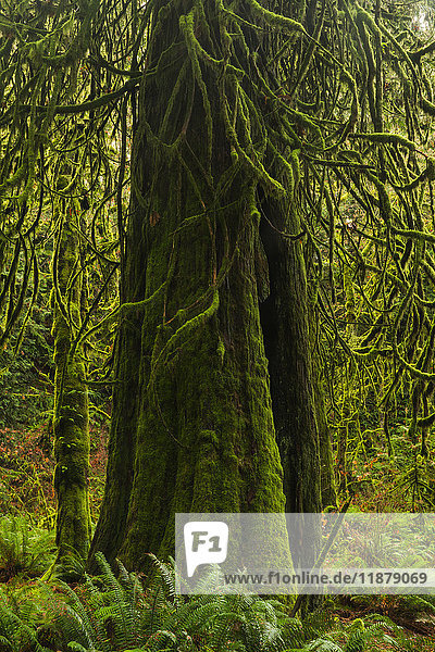'The lush rainforest of Goldstream Provincial Park; British Columbia  Canada'